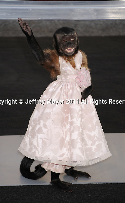 "HOLLYWOOD, CA - MAY 19: Crystal the Monkey arrives at the Los Angeles premiere of ""The Hangover Part II"" at Grauman's Chinese Theatre on May 19, 2011 in Hollywood, California."