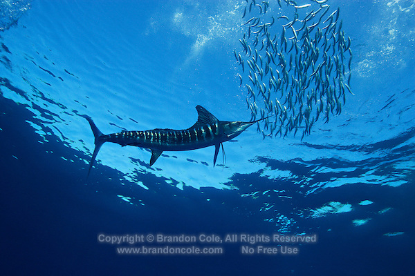 qf1119-D. Striped Marlin (Tetrapturus audax), feeding on Pacific Sardines (Sardinops sagax). Baja, Mexico, Pacific Ocean..Photo Copyright © Brandon Cole. All rights reserved worldwide.  www.brandoncole.com..This photo is NOT free. It is NOT in the public domain. This photo is a Copyrighted Work, registered with the US Copyright Office. .Rights to reproduction of photograph granted only upon payment in full of agreed upon licensing fee. Any use of this photo prior to such payment is an infringement of copyright and punishable by fines up to  $150,000 USD...Brandon Cole.MARINE PHOTOGRAPHY.http://www.brandoncole.com.email: brandoncole@msn.com.4917 N. Boeing Rd..Spokane Valley, WA  99206  USA.tel: 509-535-3489