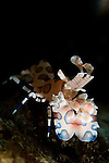 Harlequin Shrimp, Hymenocera picta, Seraya Secrets, Tulamben, Bali, Indonesia, Pacific Ocean