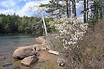 Shadbush blooming at Eagle Lake in the Spring, Acadia National Park, Maine, USA