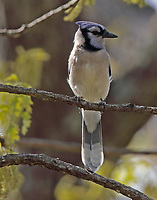 Adult blue jay
