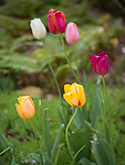 Spring in Sarah P. Duke Gardens.<br /> Tulips along the Perennial Al&eacute;e<br /> Photo by Bill Snead/Duke Photography #dukephotoaday, #dukefacilities