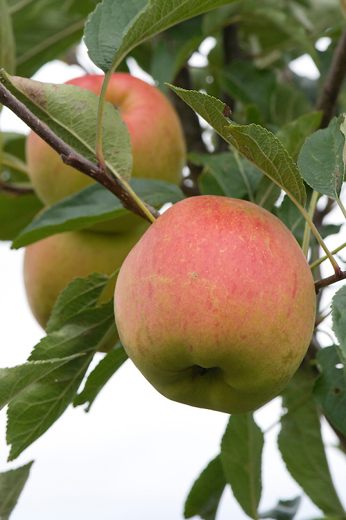 Apple 'Winter Gem', early September. A culinary or cooking apple. A relatively modern variety that ripens late and stores well. Crisp, juicy, and aromatic. Spur-bearer.
