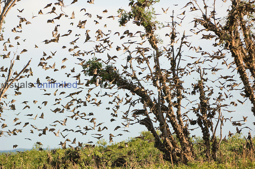 Straw-colored Fruit Bats (Eidolon helvum), Kasanka National Park, Zambia, Africa.