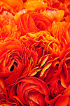 Close up of orange Giant Tecolote Ranunculus flowers
