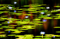 Water lilies in pond. Black Sand Beach. Hawaii the Big Island