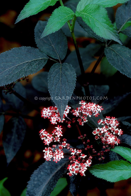 Sambucus nigra 'Black Beauty' with black plant leaves in flower