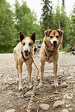 USA, Alaska, Talkeetna, slead dogs Dawson and Oliver harnessed up and ready for a trail run in the Summertime, Huskytown