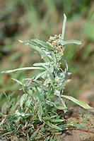 Marsh Cudweed - Gnaphalium uliginosum