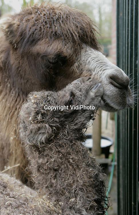 Foto: VidiPhoto..RHENEN - Na weeën van bijna twee weken en driemaal tevergeefs alarm, heeft kameelvrouwtje Dolly van Ouwehands Dierenpark in Rhenen woensdagmorgen in alle vroegte een reuzenjong gebaard. A-sociaal groot noemen de verzorgers het kind, dat de naam Clovis kreeg toebeeld. Een 'bevalling' van bijna twee weken en een buitenproportioneel groot jong, is een bijzondere gebeurtenis.