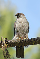 An adult female northern goshawk perches near her nest tree in the Cascade Mountains.<br /> 6/23/2015