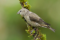 Red crossbill (Loxia curvirostra) Juvenile perched on a moss covered branch and showing no hint of adult plumage.<br /> Woodinville, King County, Washington State<br /> 6/1/2012