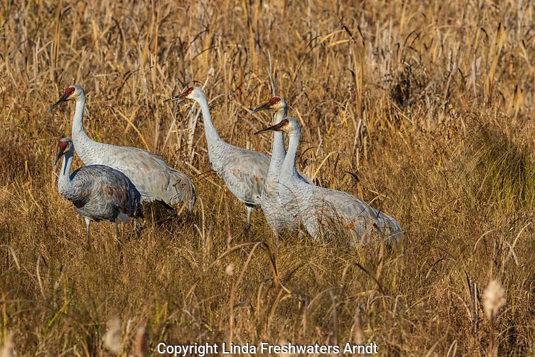 Sandhill cranes feeding in a field at Crex Meadows (northwest Wisconsin).