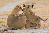 Portrait of two lion cubs playing over mama in gorgeous light in Nxai Pan National Park Botswana