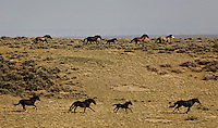 Bands of wild horses flee from helicopters in western Wyoming during a BLM gather at Divide Basin where they are removing 450 horses or more from Rock Spring grazing district.  A contractor is hired to bring in the horses.  They steer them into a trap by helicopter and for the few brave stallions or weaker colts, ridesr rope them and lead them into the fenced corral.