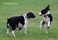 SH25-626z English Springer Spaniel puppy and adult playing
