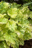 Heuchera 'Strawberries and Cream' foliage variegated leaves perennial plant