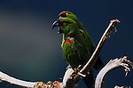 Maroon-fronted Parrots, Mexico (Vulnerable)