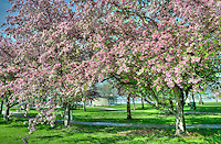 Bradford pear and crabapple in full blossom in Centennial Park.,