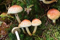 Ziegelroter Schwefelkopf, Hypholoma lateritium, Hypholoma sublateritium, Naematoloma sublateritium, Brick Cap, Brick Tuft