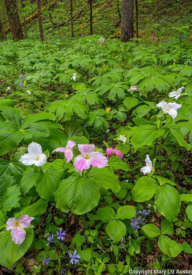 Great Smoky Mountains National Park, Tennessee: Trillium (Trillium grandiflorum) with mayapples (Podophyllum peltatum), wild blue phlox (Phlox divaricata) and yellow trillium (Trillium luteum) blooming under a forest understory in White Oak Sink