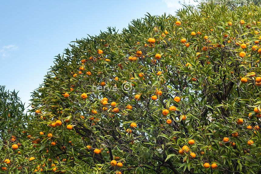 France, Alpes-Maritimes (06), Menton, la collection d'agrumes du palais Carnoles : mandarine 'Blanco', Citrus reticulata 'Blanco'