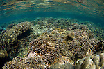 A hard coral garden with a variety of different hard corals including table, branching, cabbage or lettuce, staghorn, and leather varieties, Acropora sp., Porites sp., Echinopora sp., Sarcophyton sp., Spice Islands, Maluku Region, Halmahera, Indonesia, Pacific Ocean