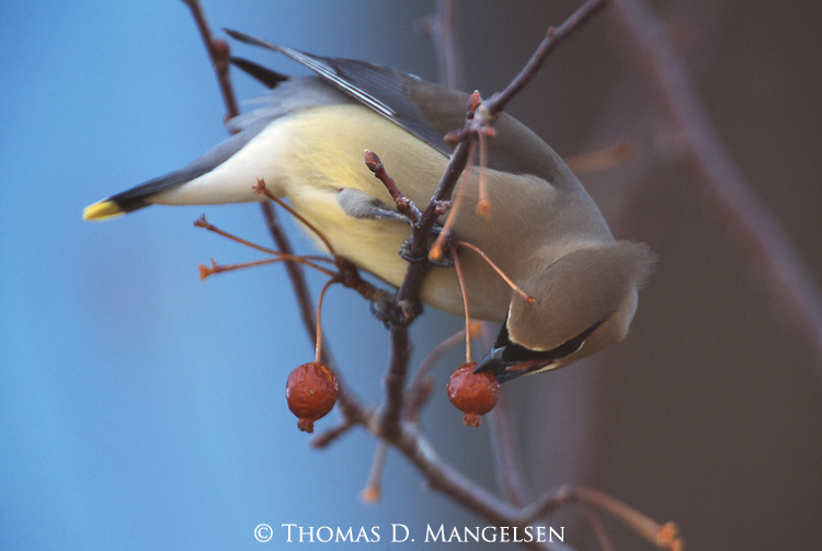 Cedar Waxwing eating a berry in Jackson, WY.