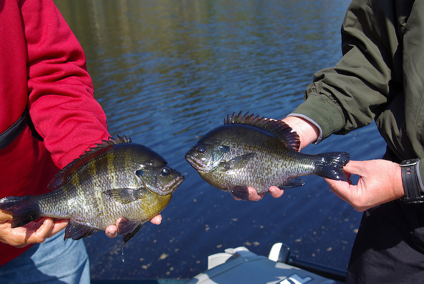 Two trophy bluegills, Richmond Mill Lake near Laurel Hill, North Carolina