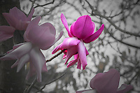 Flower highlight - Magnolia campbellii 'Darjeeling' flowering deciduous tree in San Francisco Botanical Garden