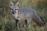 Gray Fox very early one morning in shade, getting a drink of water. The Central Texas Hill Country is home to many remarkable creatures, but none are more intriguing than the gray fox.<br />