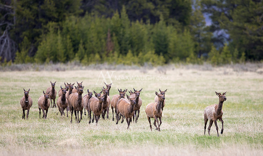 A small herd of elk runs through a meadow.