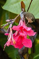 Slaty Flowerpiercer, Diglossa plumbea