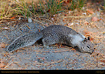 California Ground Squirrel Foraging in Autumn, Otospermophilus beecheyi, Glacier Point, Yosemite National Park