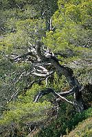 Europe/Provence-Alpes-Côte d'Azur/83/Var/Rayol-Canadel-sur-Mer: Jardin du domaine du Rayol - Détail pin maritime au conservatoire du littoral