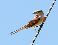 Adult scissor-tailed flycatcher with grasshopper