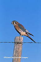 00818-022.06 American kestrel (Falco sparverius) male on fence post   CO