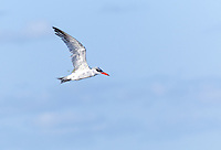 Caspian Tern in winter plumage, in flight with a piece of pond grass draped over it's wings