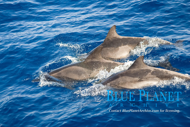 Rought toothed dolphin (steno bredanensis) A group f rought toothe ddolphin with characterisitc mottley looking skin colouring.Canary Islands.