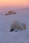 Two snow-covered polar bears sleep near each other in Wapusk National Park, Manitoba, Canada.