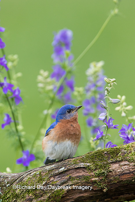 01377-17909 Eastern Bluebird (Sialia sialis) male in flower garden, Marion Co., IL
