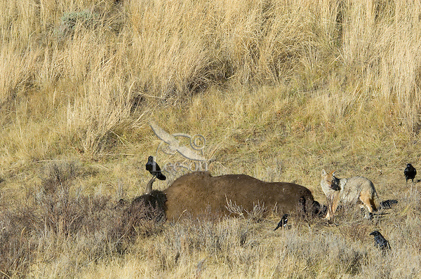 Coyote, common ravens and black-billed magpie feeding on bison carcass.  Yellowstone.  Fall.