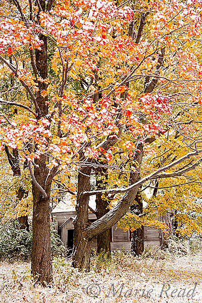 First snow, autumn maples and abandoned school house, Ithaca, New York, USA