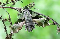 Nachtkerzenschwärmer, Nachtkerzen-Schwärmer, Proserpinus proserpina, Willowherb Hawkmoth, Le Sphinx de l'épilobe, Sphinx de l'œnothère, Schwärmer, Sphingidae, hawkmoths, hawk moths, sphinx moths