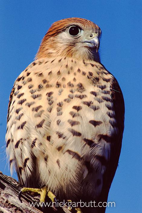 Adult Mauritius Kestrel (Falco punctatus). Black River Gorges National Park, Mauritius.