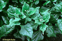 HS21-224x  New Zealand Spinach - Tetragonia variety
