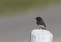 Pinnacles is home to a number of bird species, including the black phoebe.