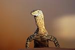 Australia, Northern Territory, perentie lizard on red sand; Australia's largest lizard