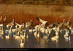 Snow Geese Landing at Sunrise, Bosque del Apache Wildlife Refuge, New Mexico