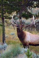 Bull elk (Cervus canadensis) may have five to eight or more tines on each antler; however, the number of tines has little to do with the age or maturity of a particular animal. The formation and retention of antlers is testosterone-driven. After the breeding season in late fall, the level of pheromones released during estrus declines in the environment and the testosterone levels of males drop as a consequence. This drop in testosterone leads to the shedding of antlers, usually in the early winter.<br />